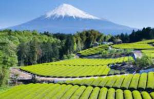 perkebunan di kaki gunung fuji